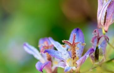 Your Guide to Summer Flowers: Toad Lily