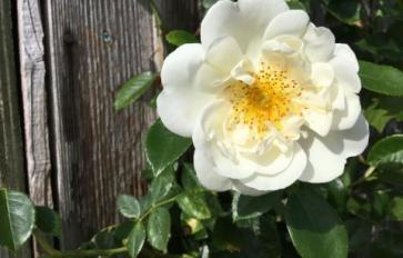 Your Guide To Summer Flowers: The Rose Family