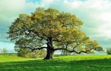 Sacred Trees: Oak Folklore, Medicine & Food