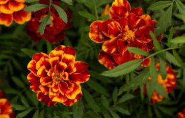 Your Guide To Summer Flowers: African Marigolds