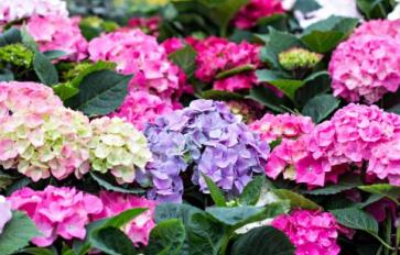 Your Guide To Summer Flowers: Hydrangea