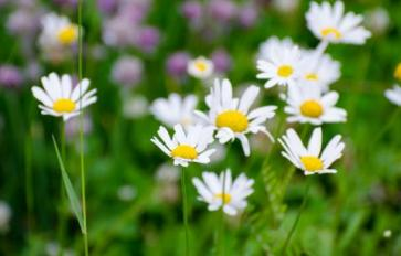 Your Guide To Summer Flowers: Shasta Daisy