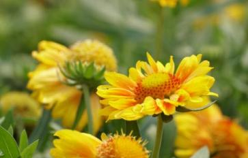 Your Guide To Summer Flowers: Gaillardia (Blanket Flower)