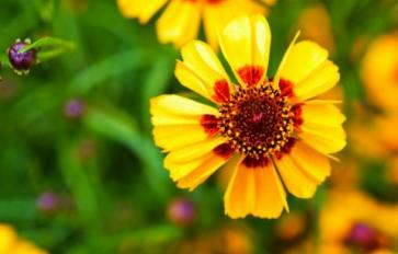 Your Guide To Summer Flowers: Coreopsis