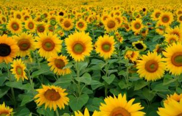 Your Guide To Summer Flowers: Sunflower