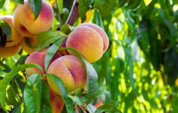 How To Grow A Perfect Peach Tree
